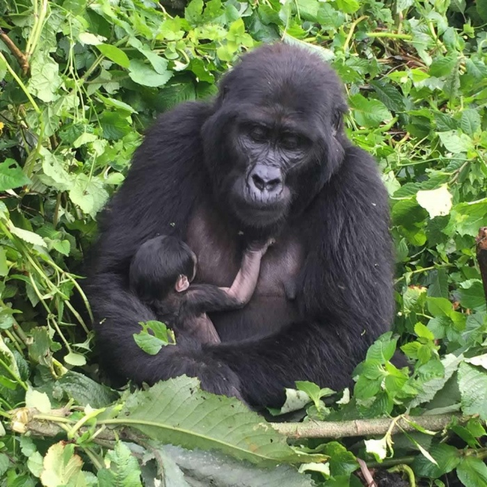 Planning a Gorilla Safari; important things to know | Focus
