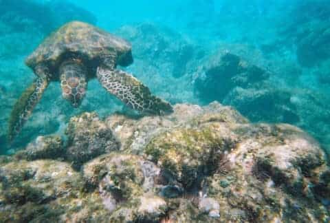 Aloha Friday Photo: Turtle at Po'olenalena Beach